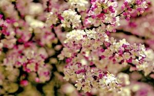 flower-sakura-wallpaper