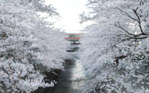 Sakura-DSC_0109-1