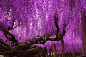 wisteria.japan