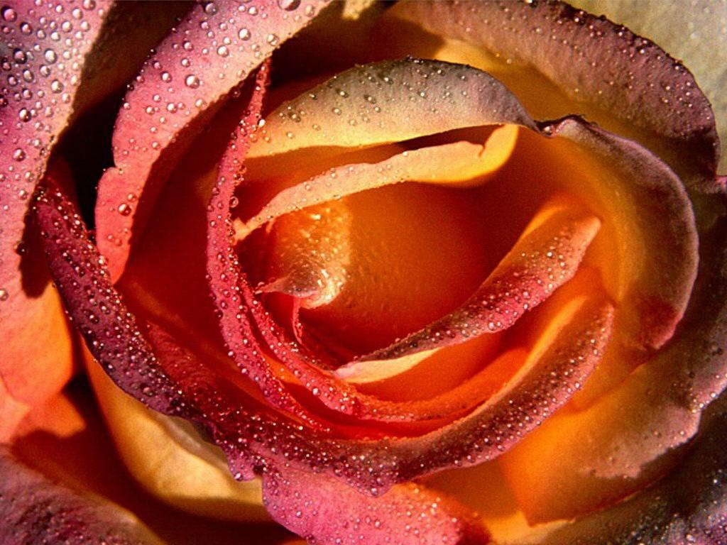 red-rose-white-pink-black-beautiful-flowers